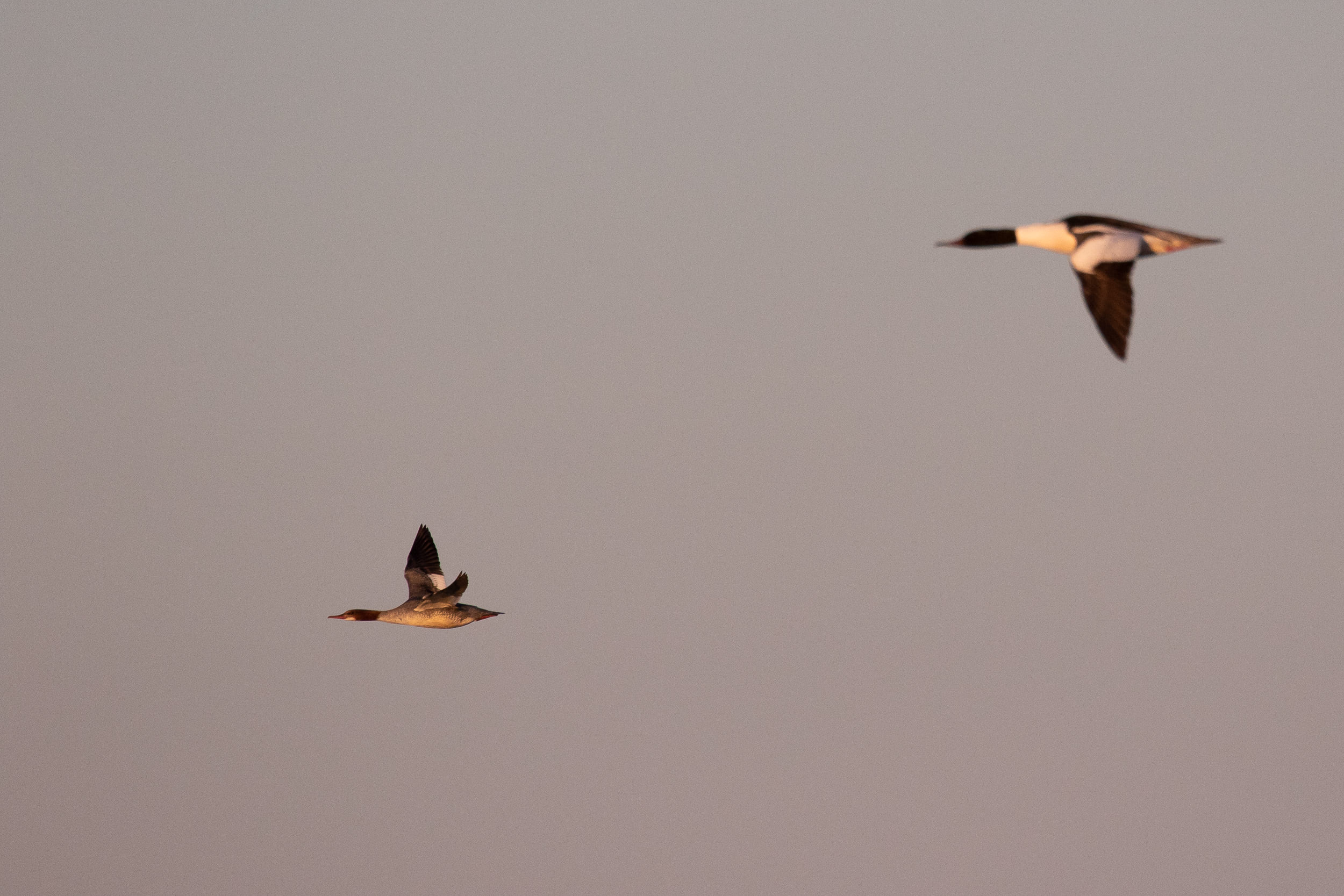 Female and male Goosander.