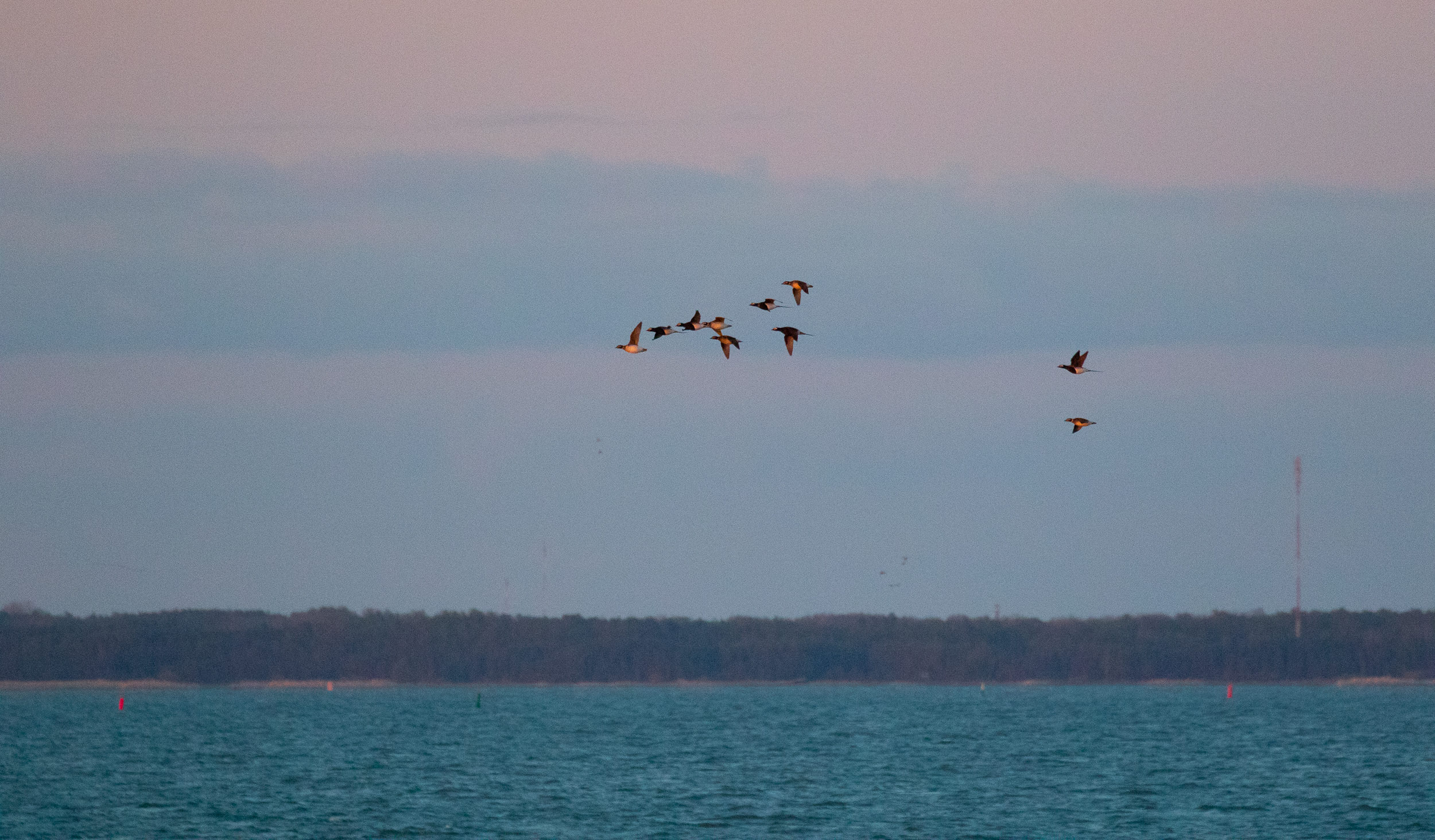A flock of — you guessed it — Long-tailed Ducks taking off for the night.