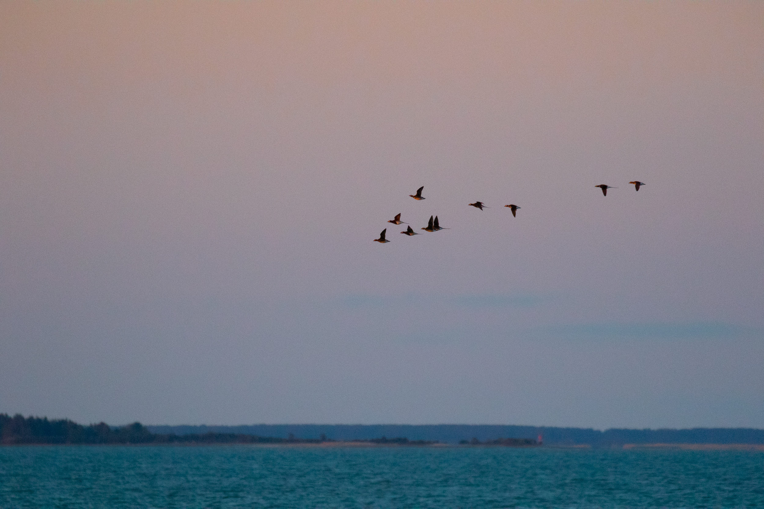 More Long-tailed Ducks…