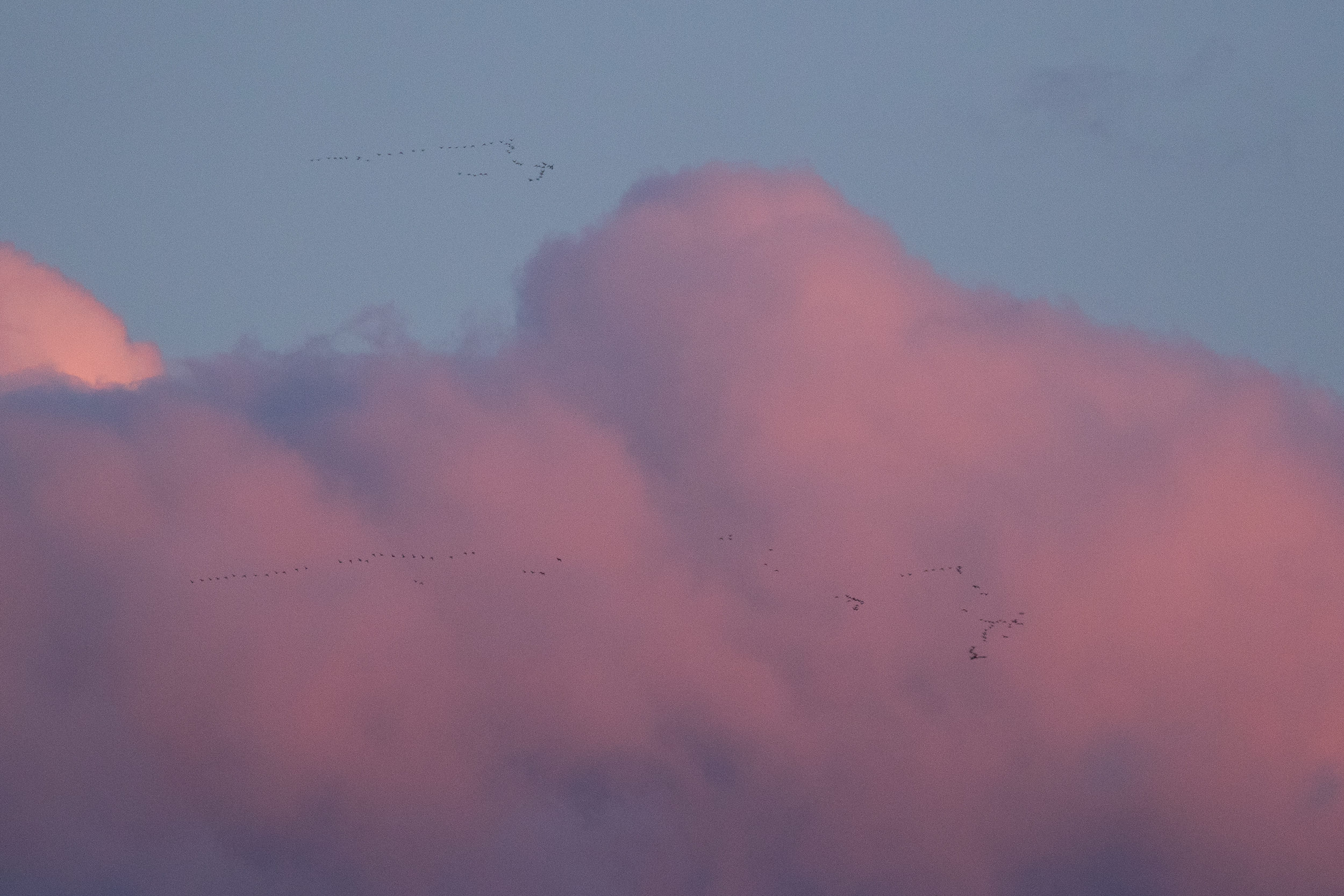 Flocks of probably mostly Scoters cruising north at high altitude.