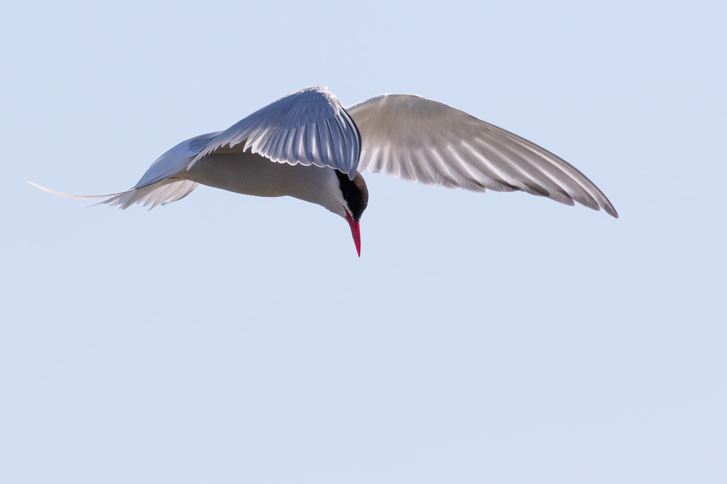 Arctic Tern, same bird as previous.