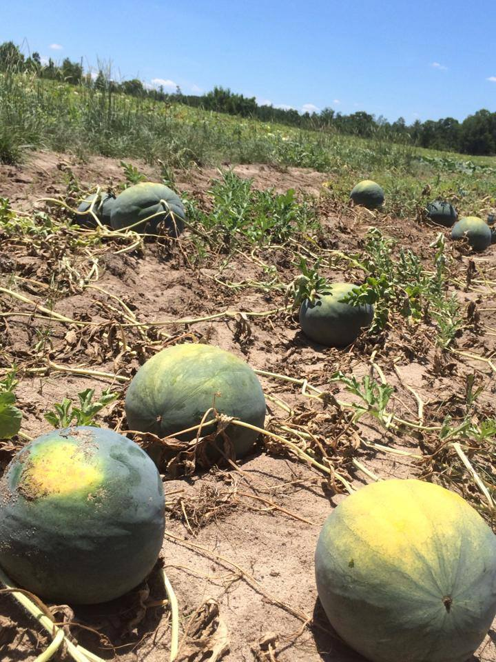 Postell and Caver's Farm melons.jpg