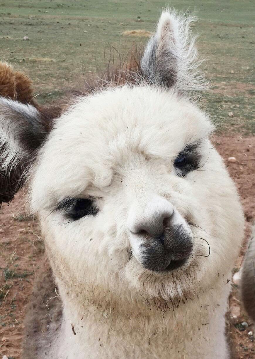 Sally the alpaca