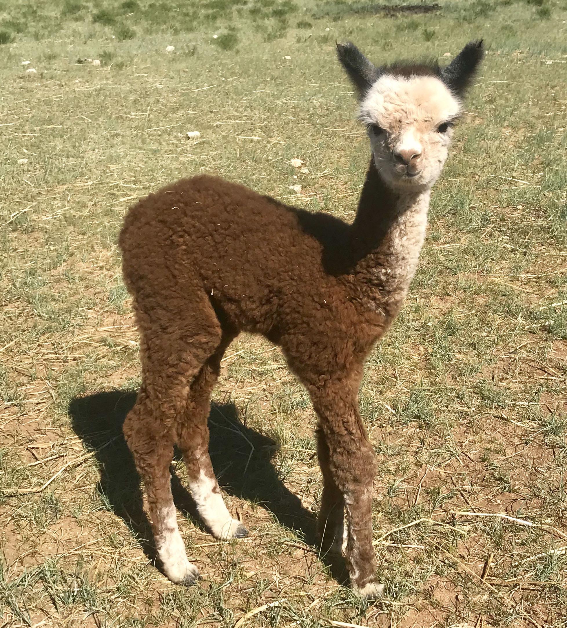 Ferdy Cria alpaca