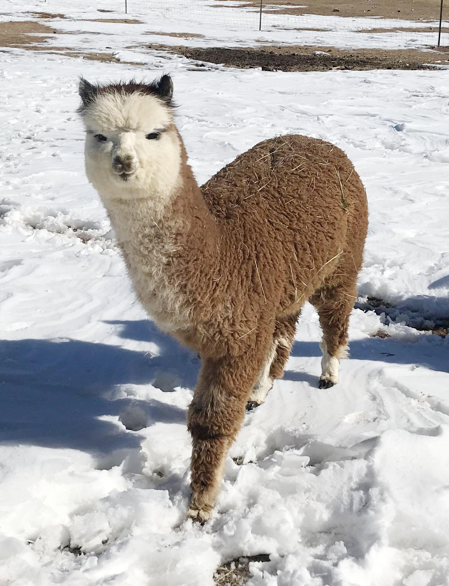 Ferdy the alpaca