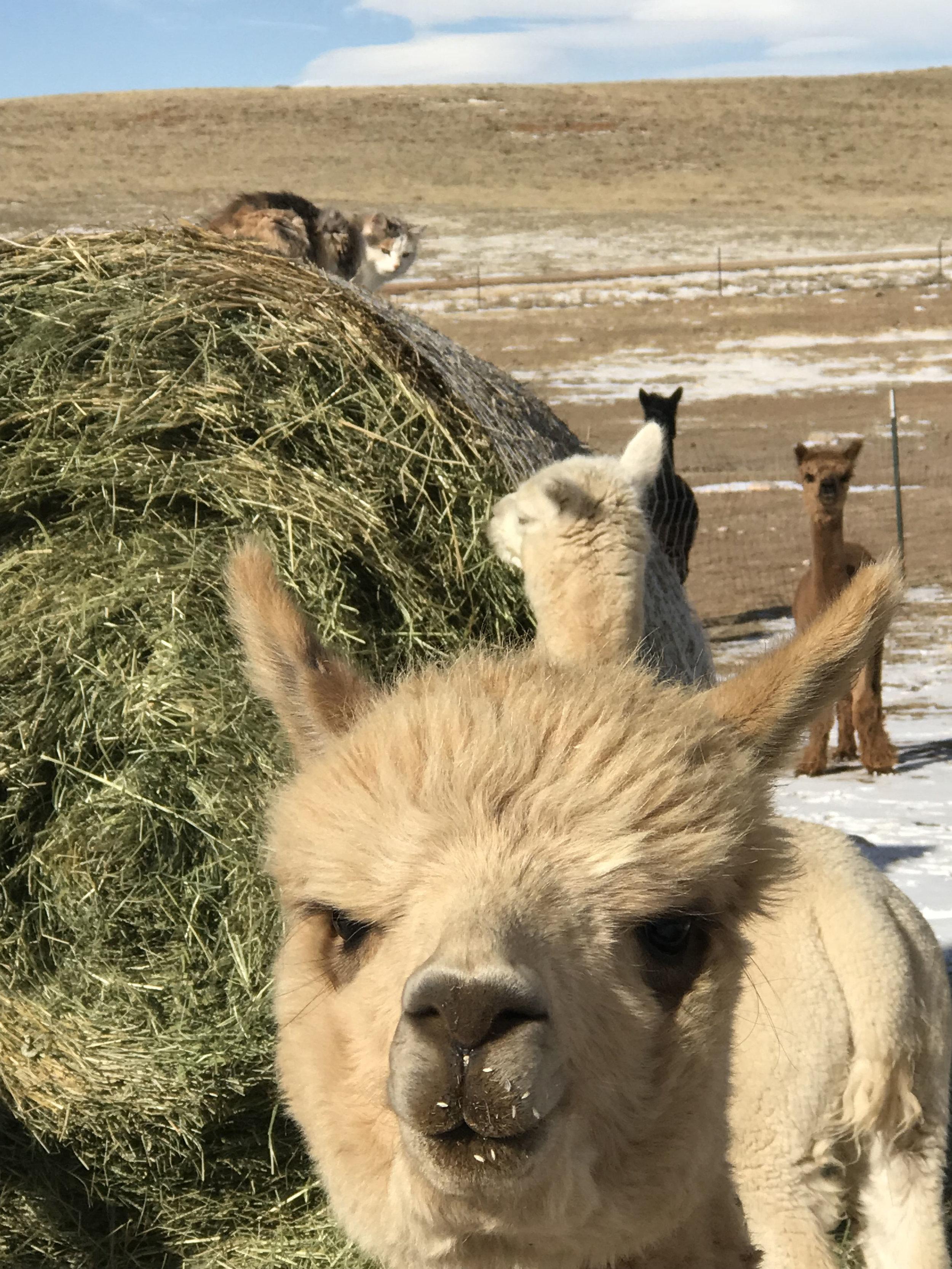 George the alpaca