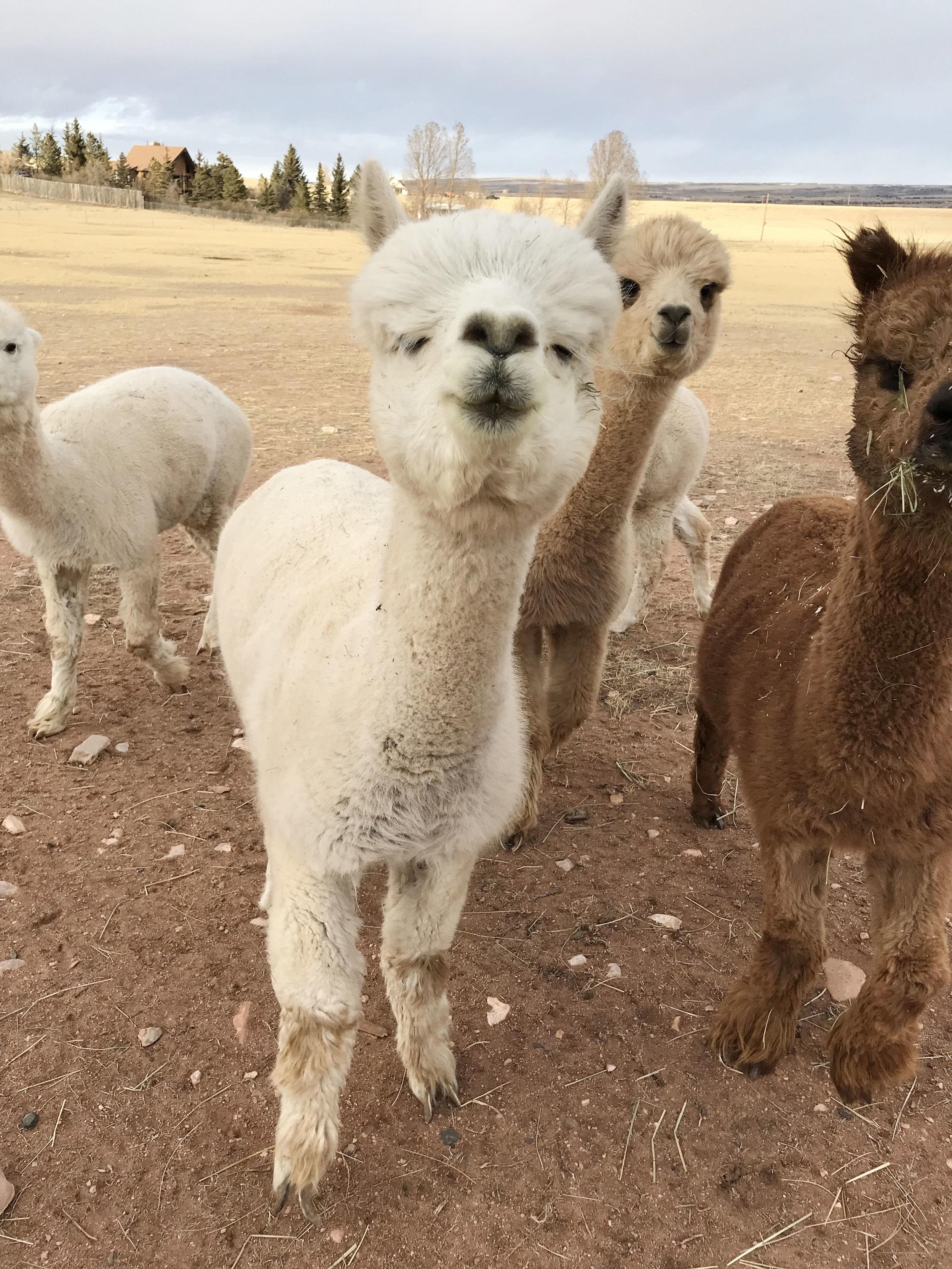 Filbert the alpaca