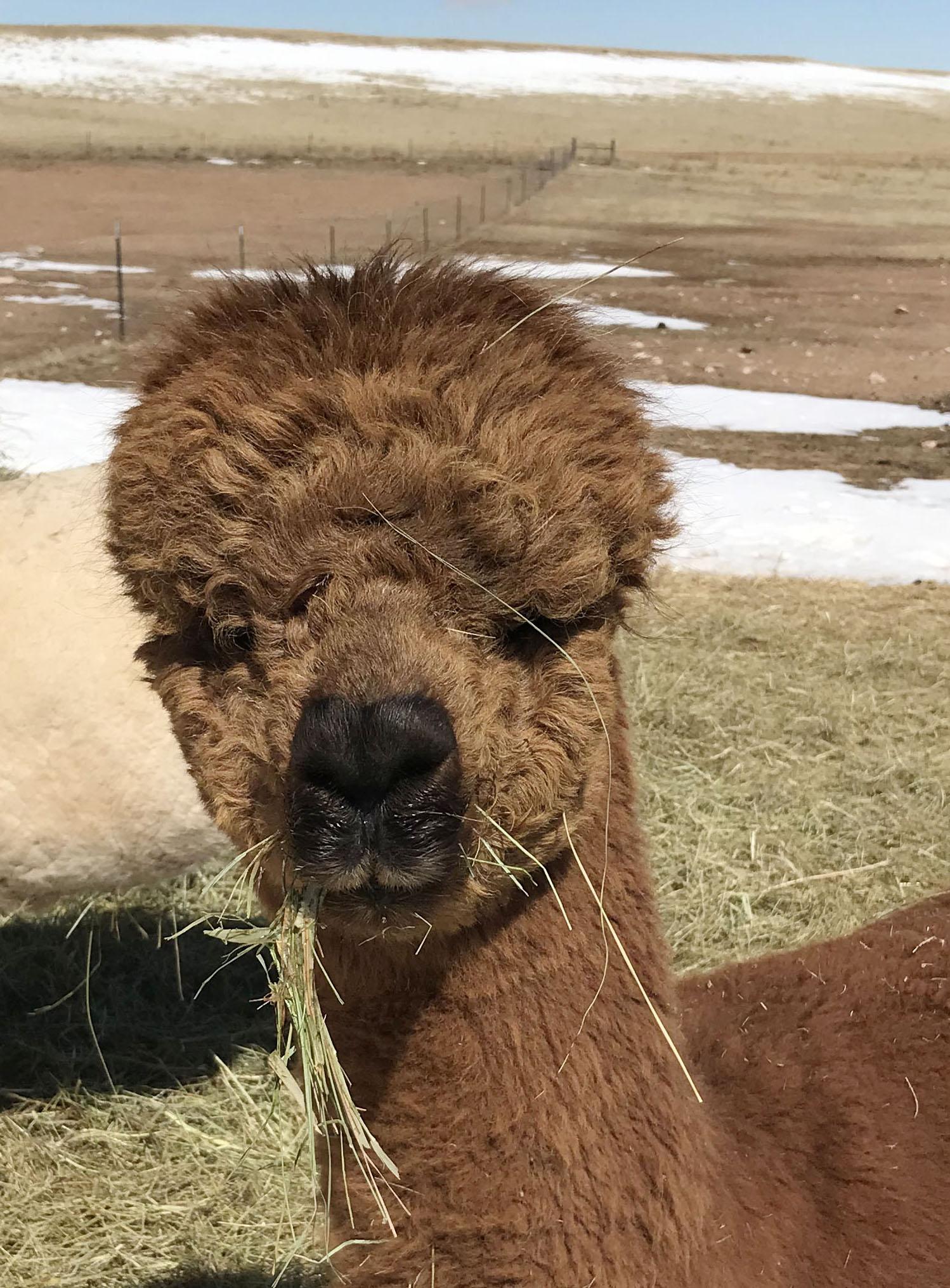 Toby the alpaca close up