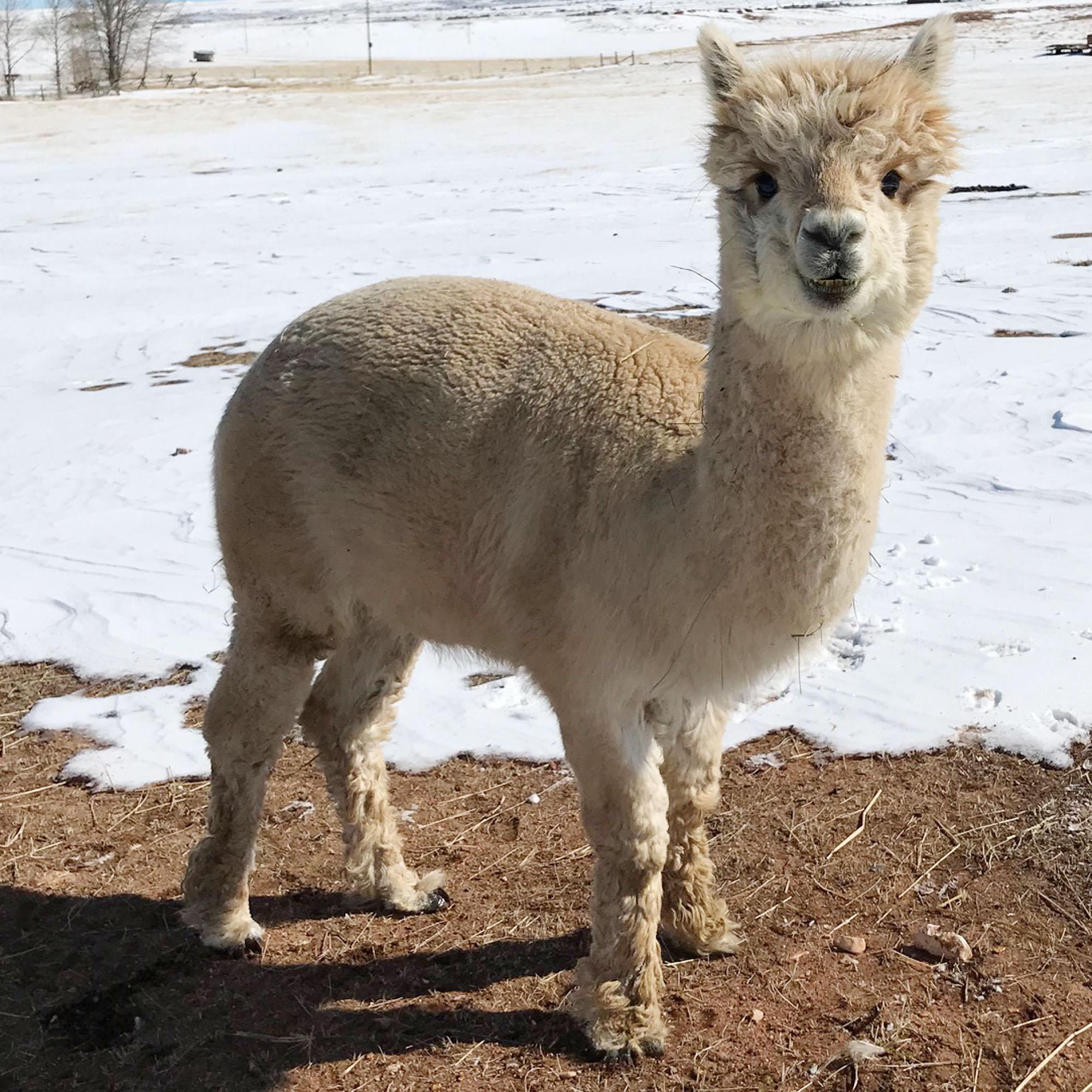 Mervin the alpaca