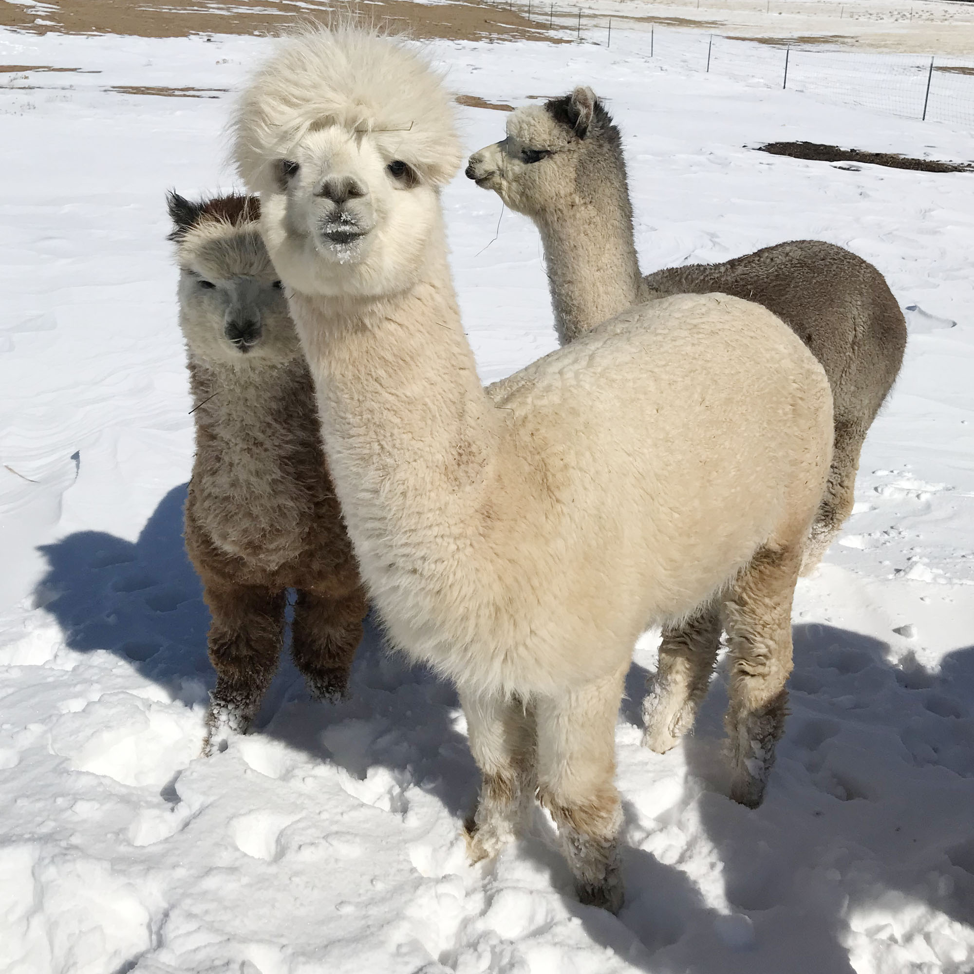 Lennon the alpaca