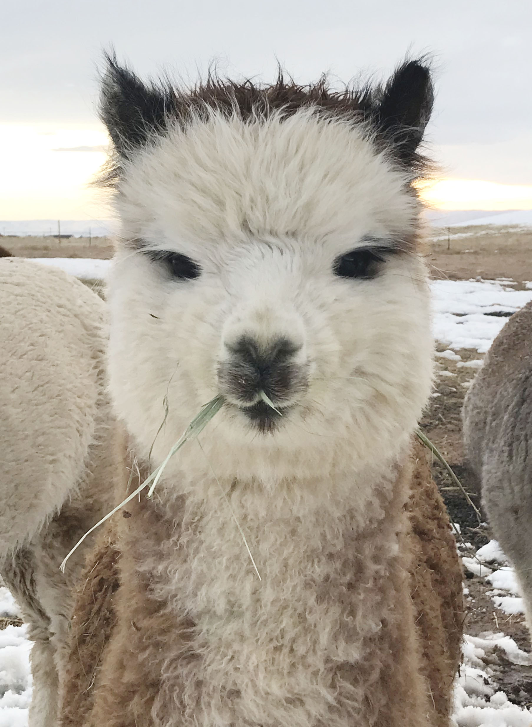 Ferdy the alpaca