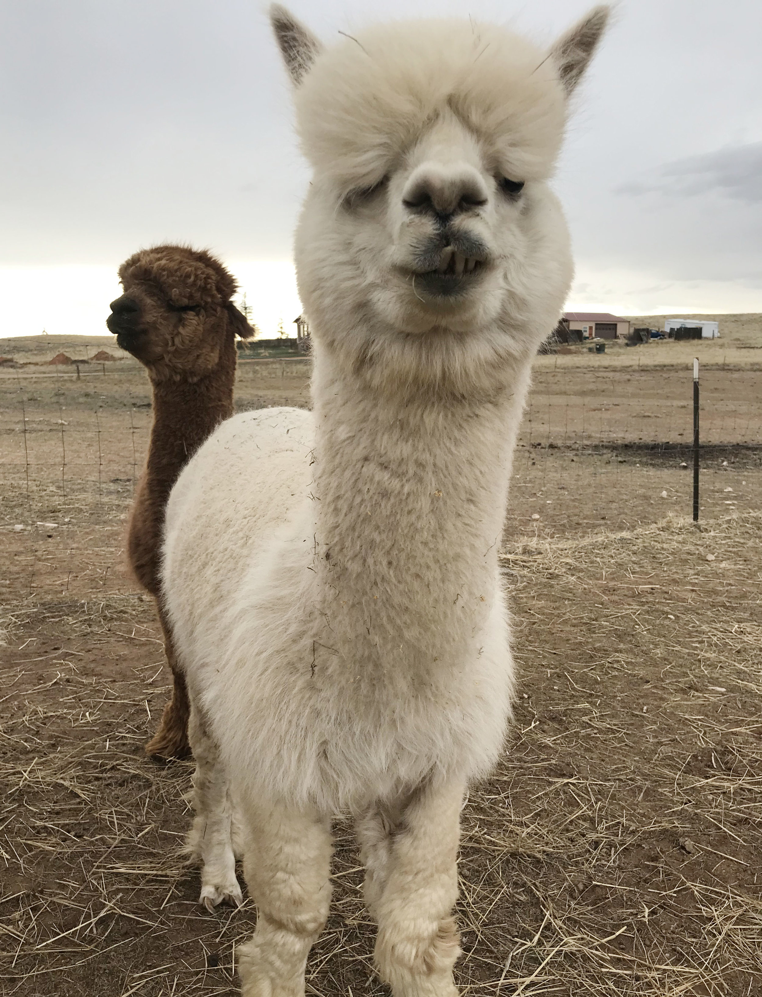 Trason the alpaca