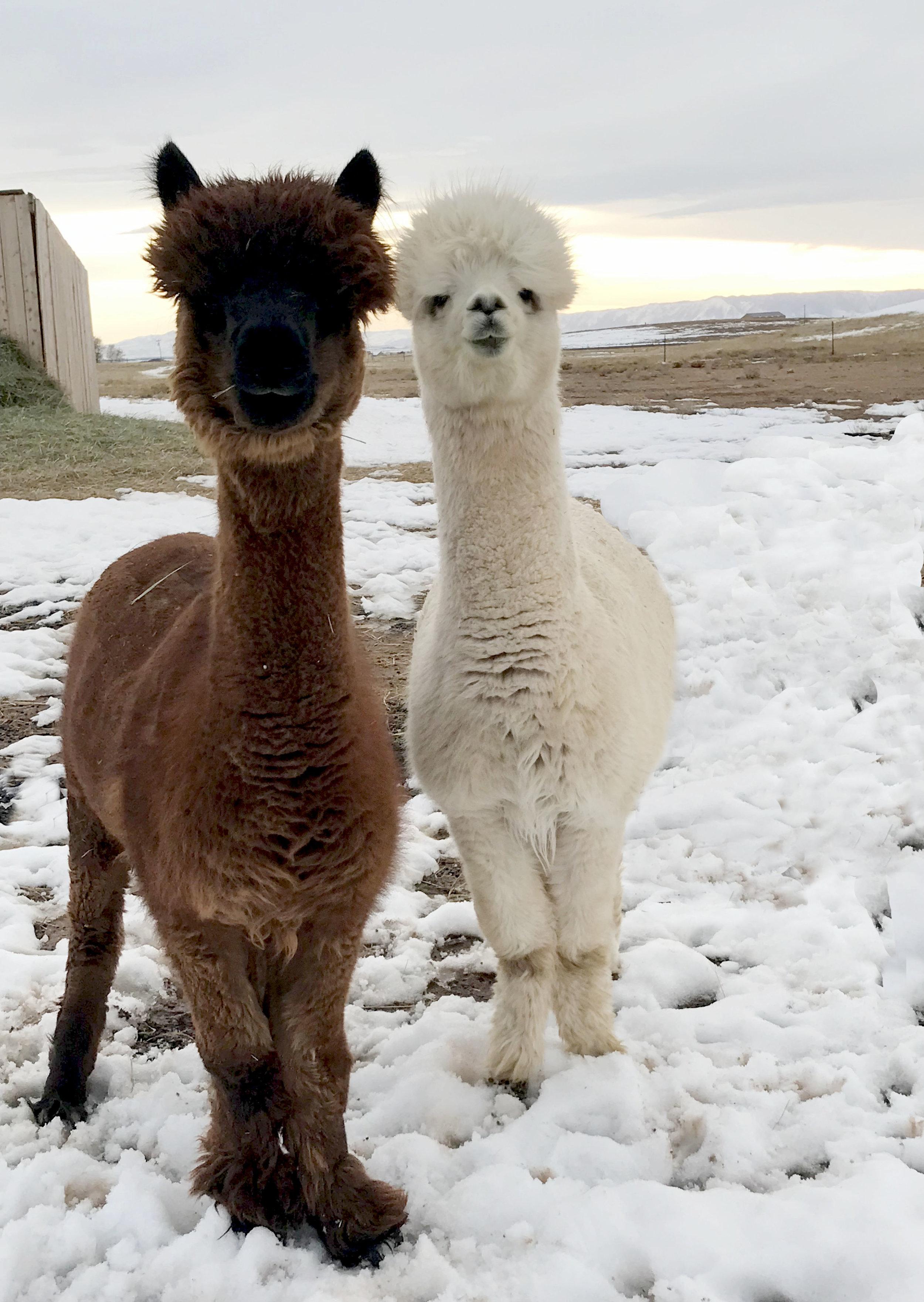 Mondavi the alpaca