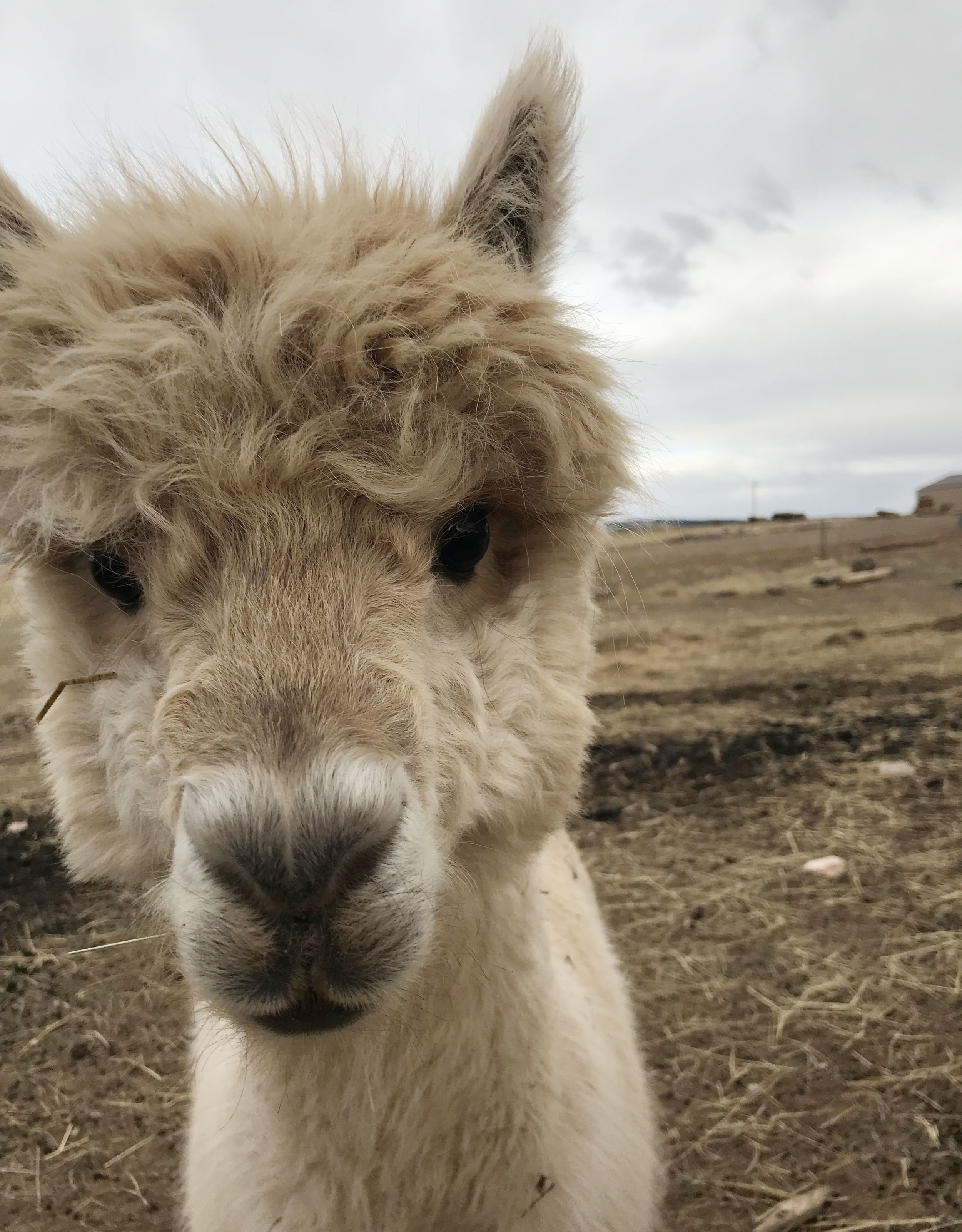 George the alpaca