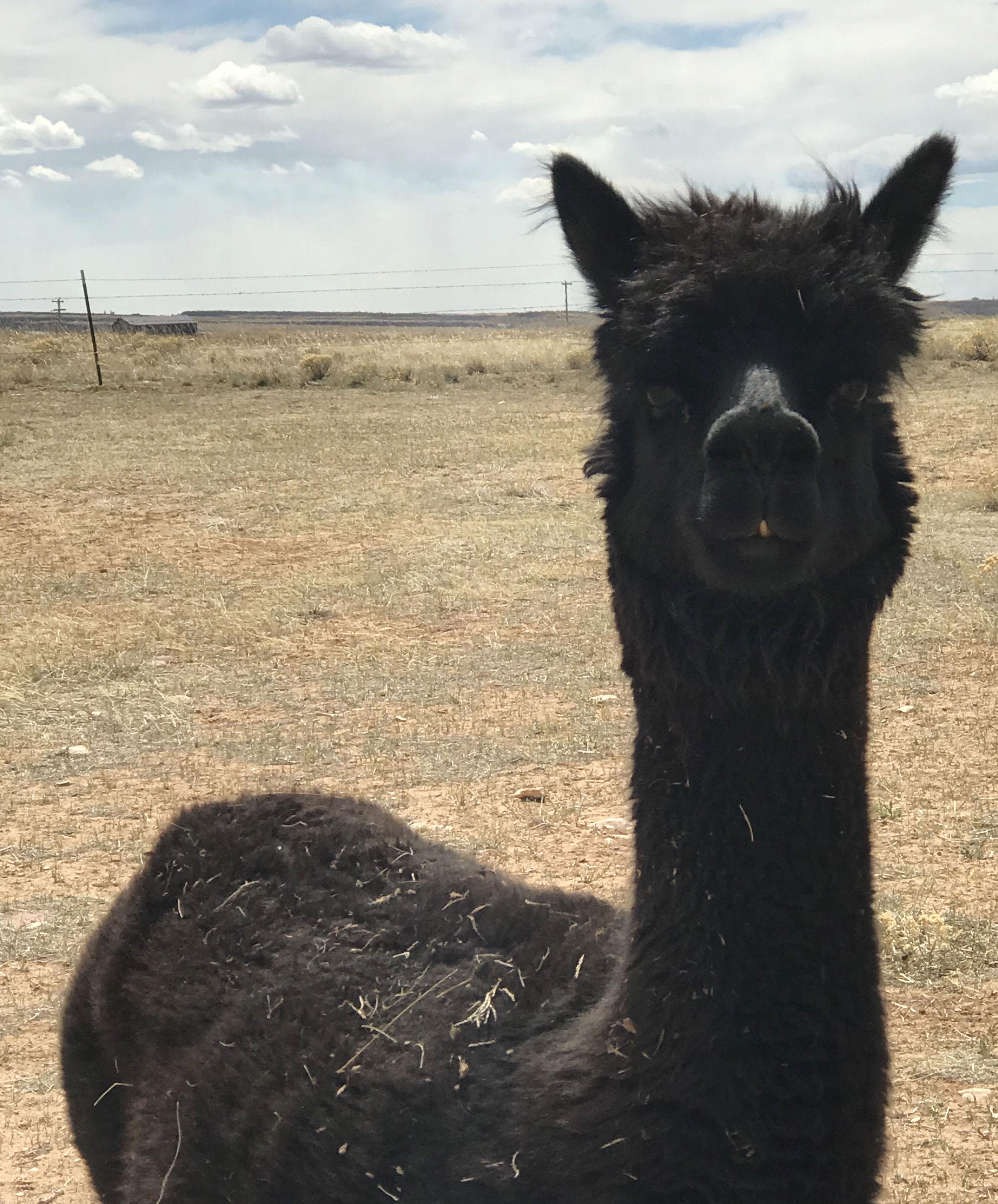 Theo the alpaca
