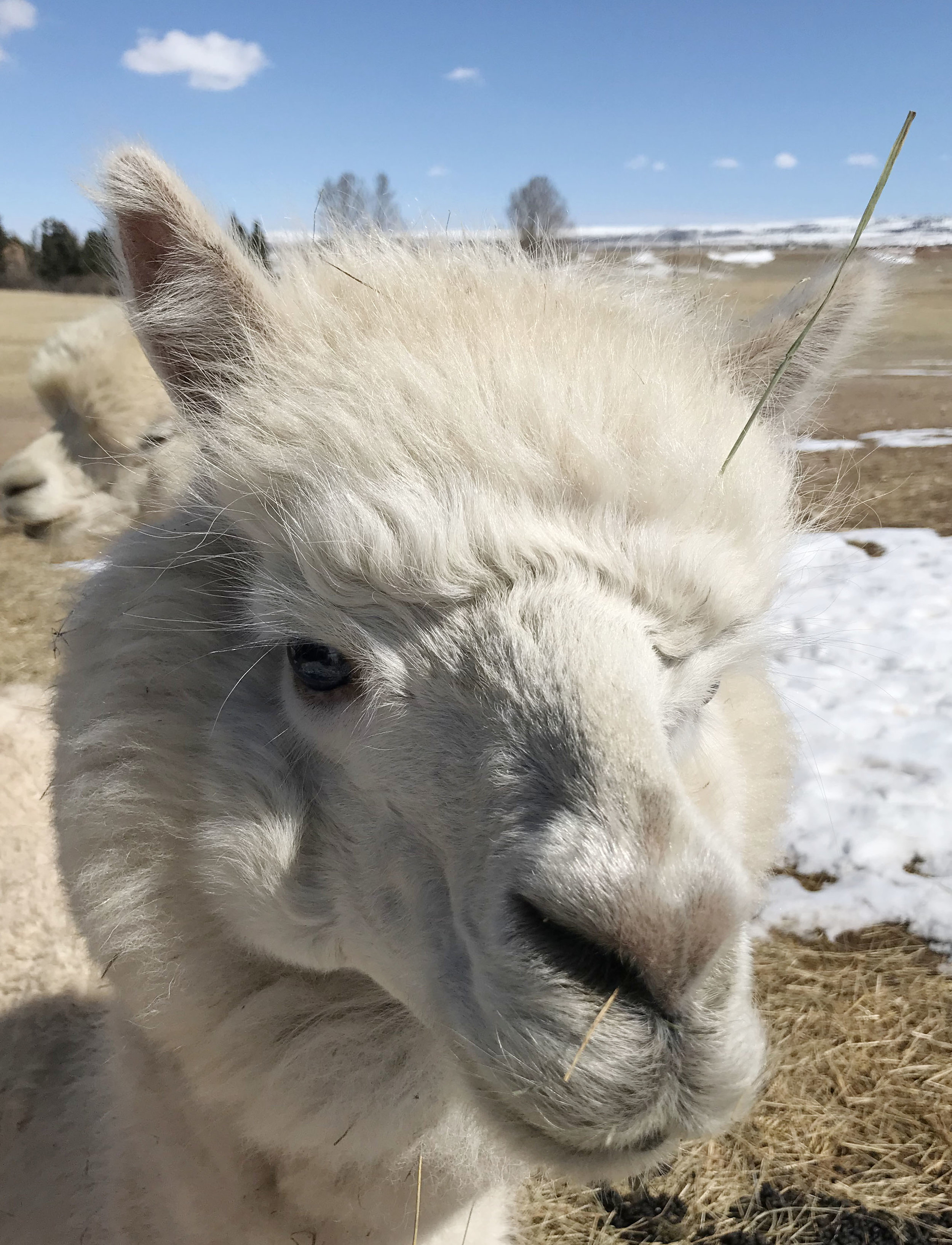 Blue the alpaca