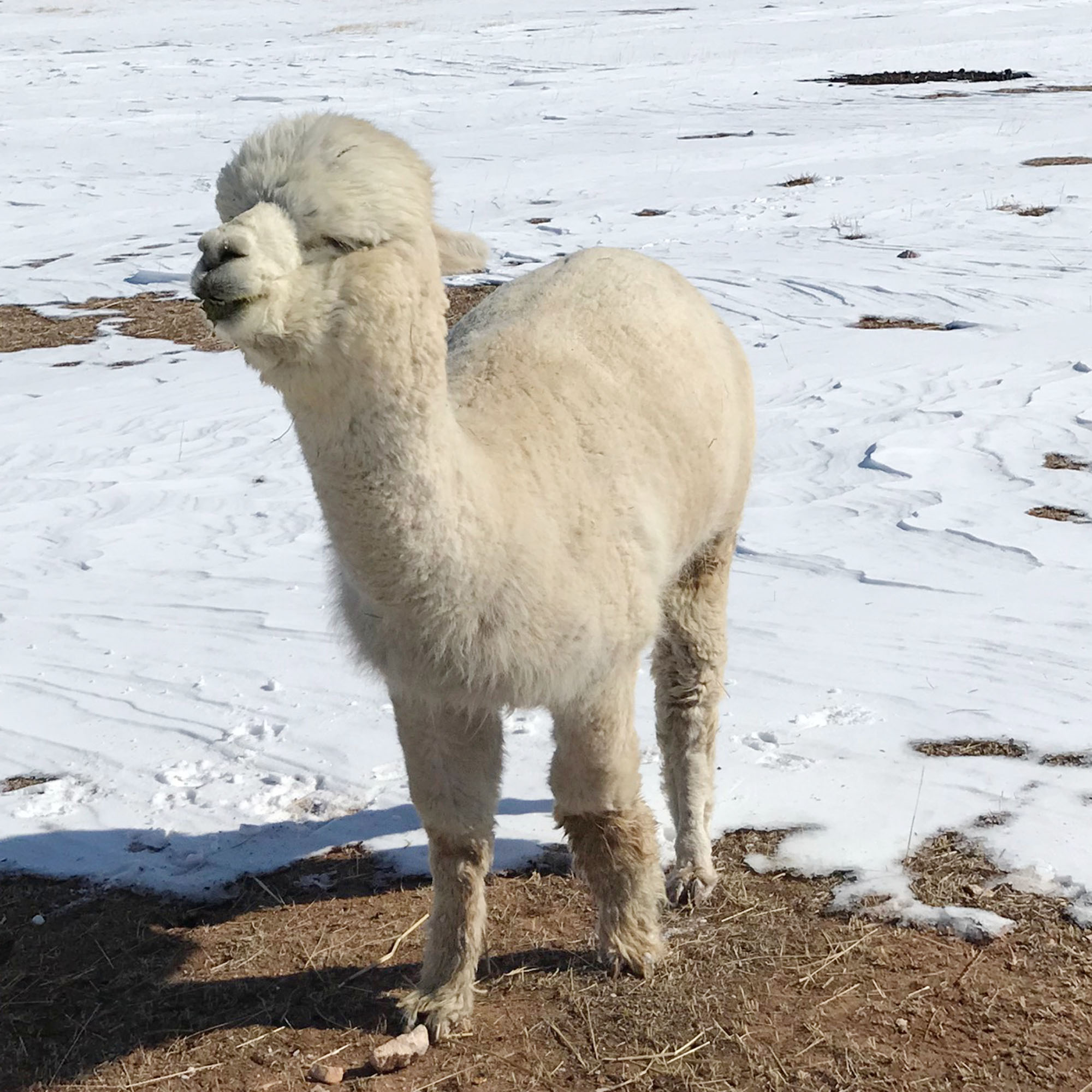 Filbert the alpaca