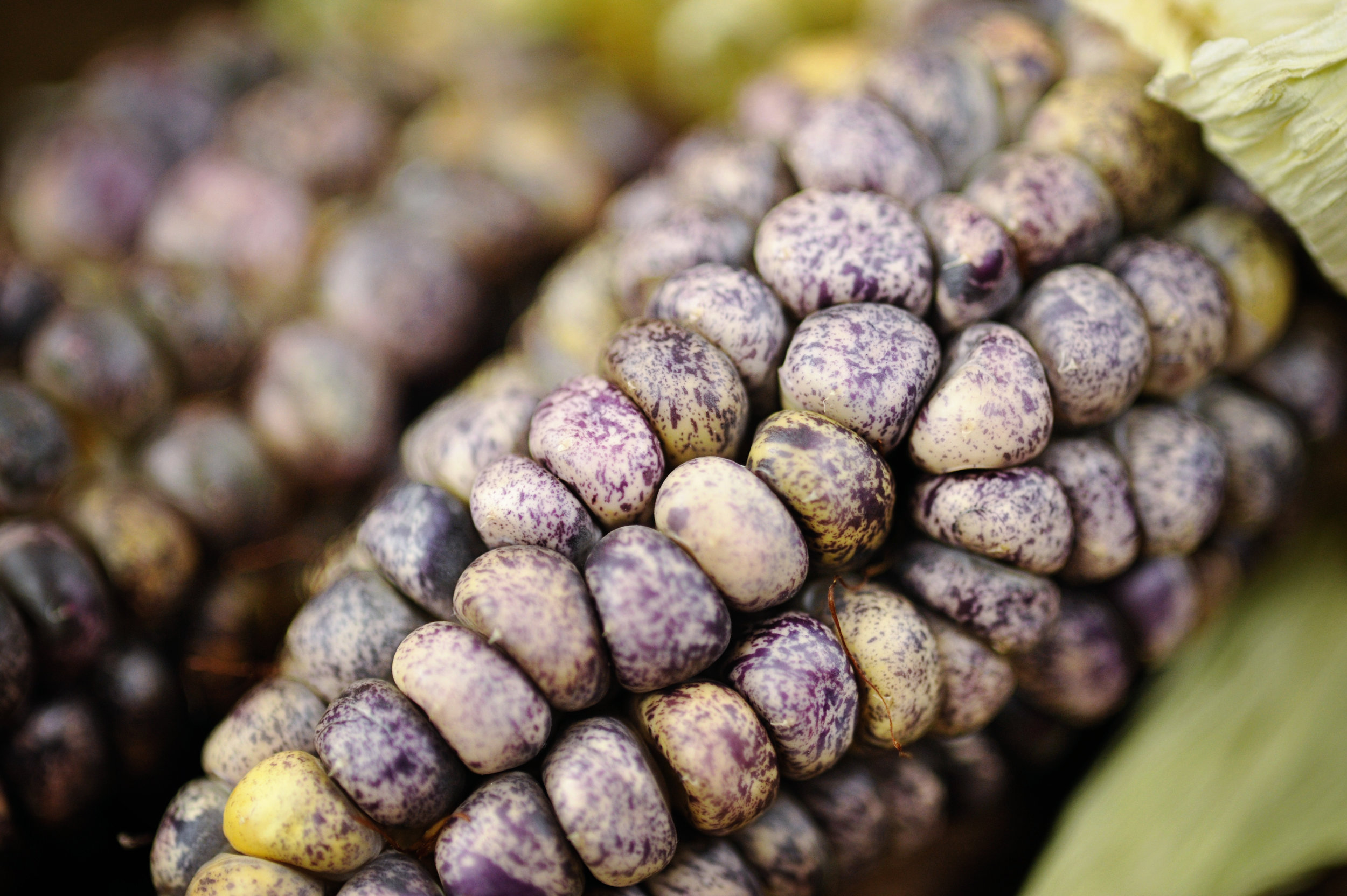 """""""Impossible Corn"""" - Pisscorunto/Chuspi Sacred Valley Peruvian Corn. Grown for the first time to seed in Coarsegold, CA.Photo Credit: Laura Stilson/BakerCreek."""