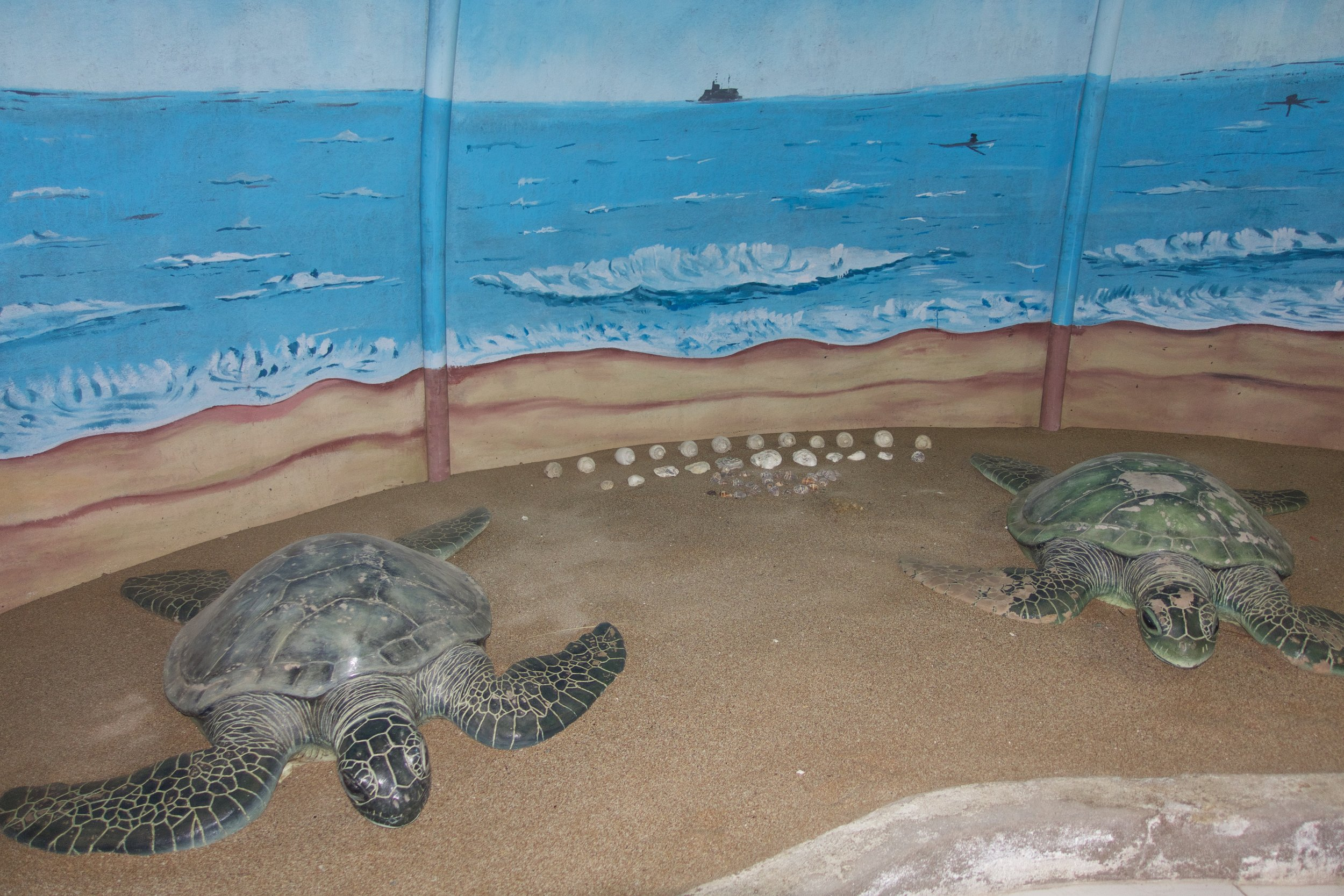 Green turtle casts in the nature center