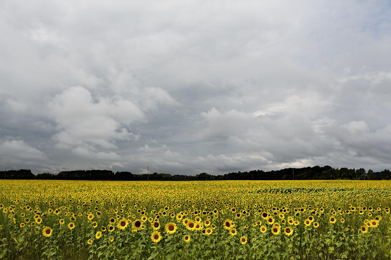 Field of Sunflowers | Photo by Eliesa Johnson | Photogen Inc.