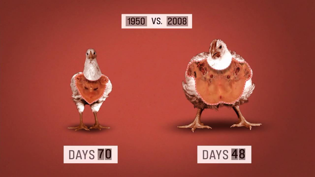 1950vs2008-chiken.png