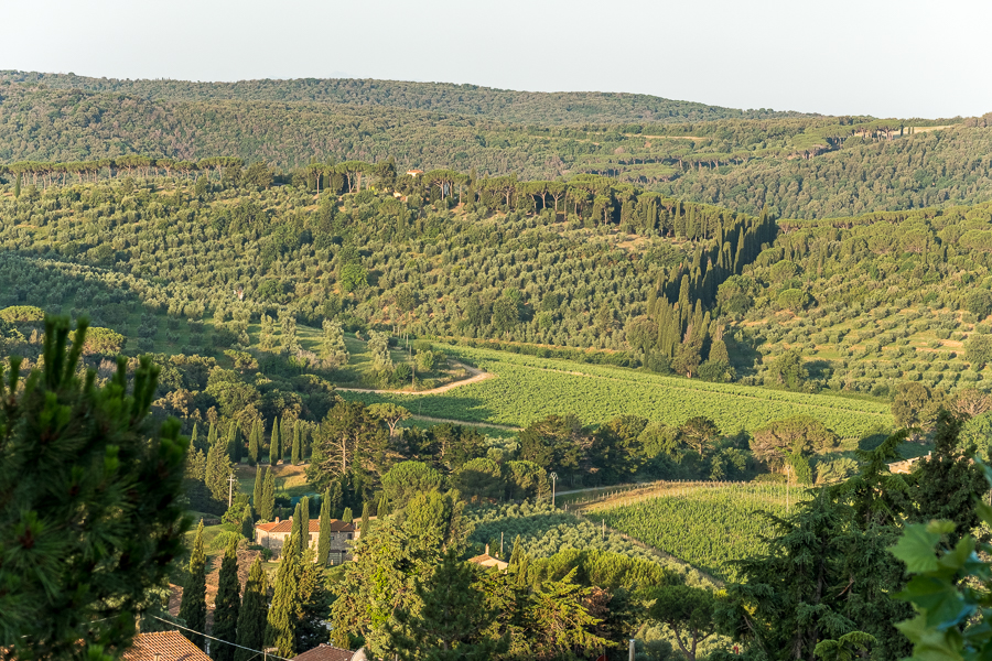 Olive trees and vineyards around the town of Castagneto Carducci.