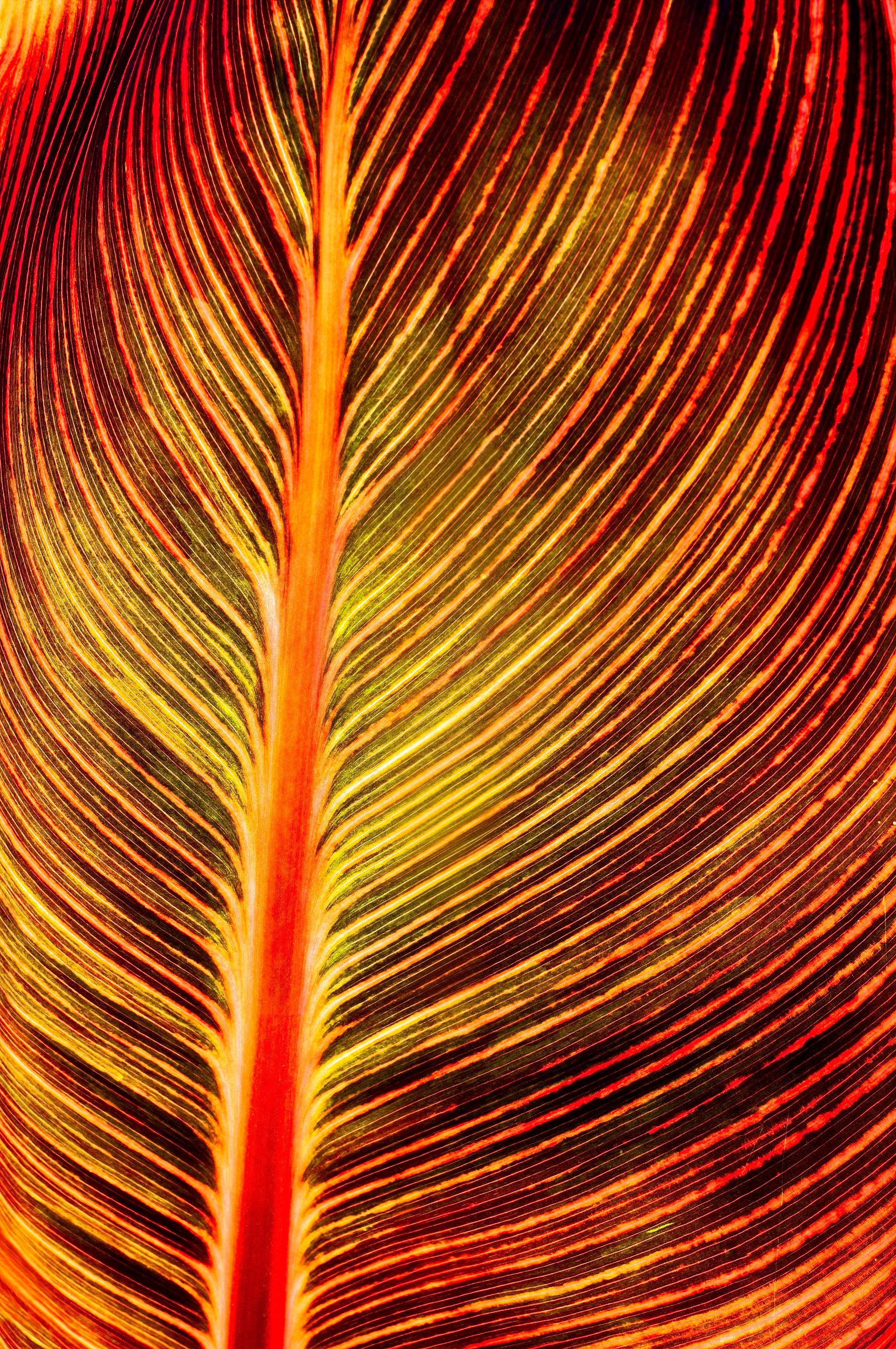 Canna-Leaf-Aglow-for-Show.jpg