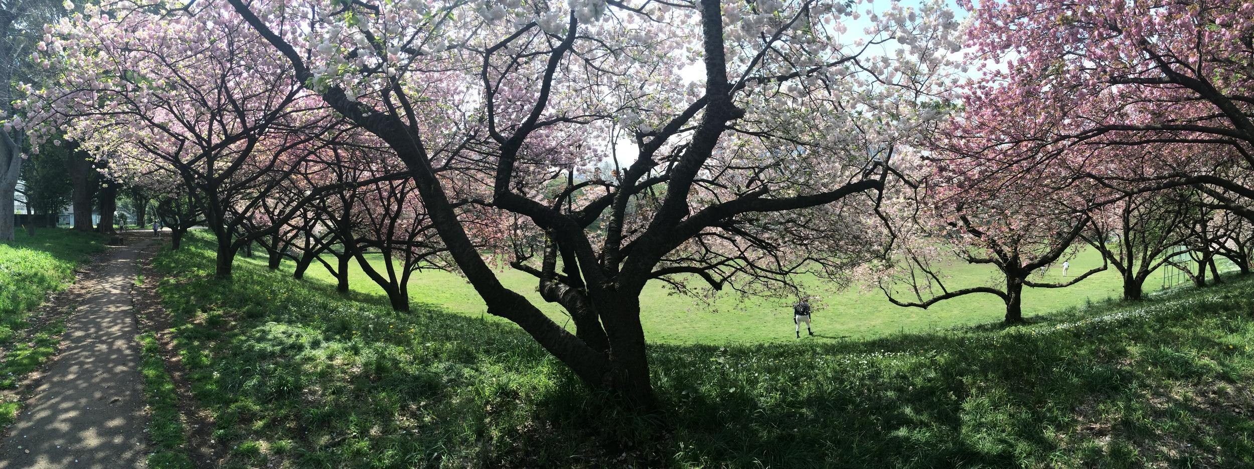 Cherry Blossom Season in Tokyo