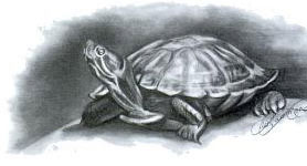Learn how to draw turtles
