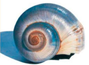 Shell Colored Pencil Drawing