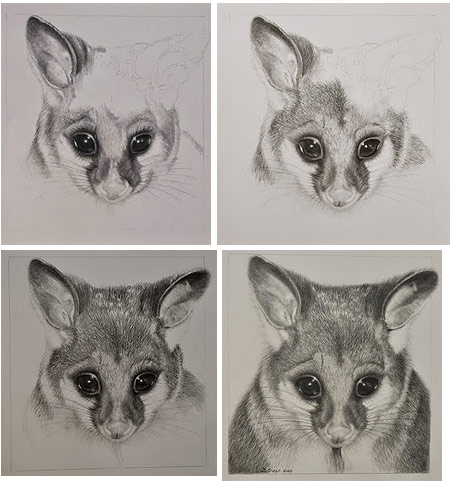 The stages of drawing of possum, by Doreen Cross