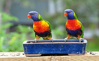 Doreen's photo of lorikeets in her garden
