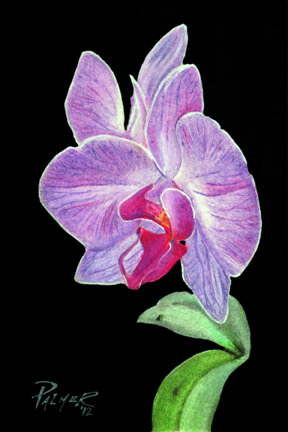 Orchid Drawing Allen Palmer