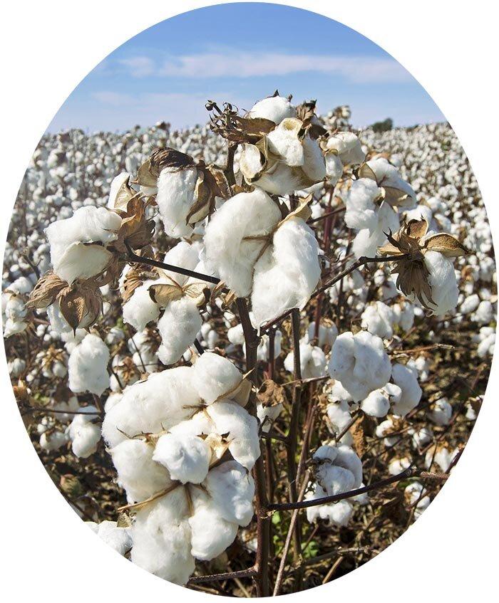 棉花被用来做档案纸