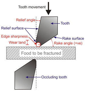Some important functional characteristics of teeth. Rake angle, relief angle, wear land and edge sharpness of a crest viewed end-on (length going into page). The circle radius indicating edge sharpness is enlarged for clarity, and is much smaller in real crests.