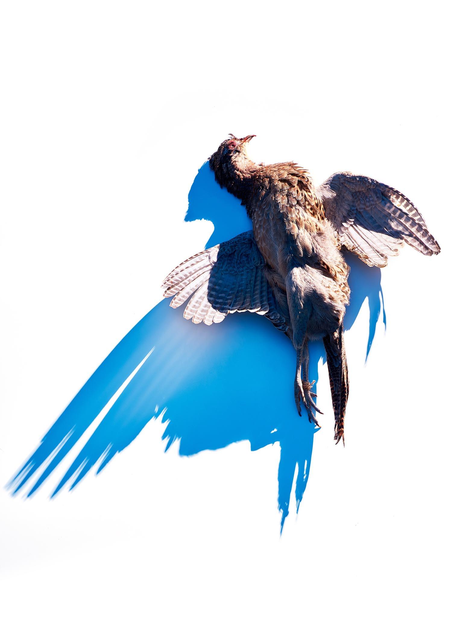 flemish-pheasant-female-web.jpg