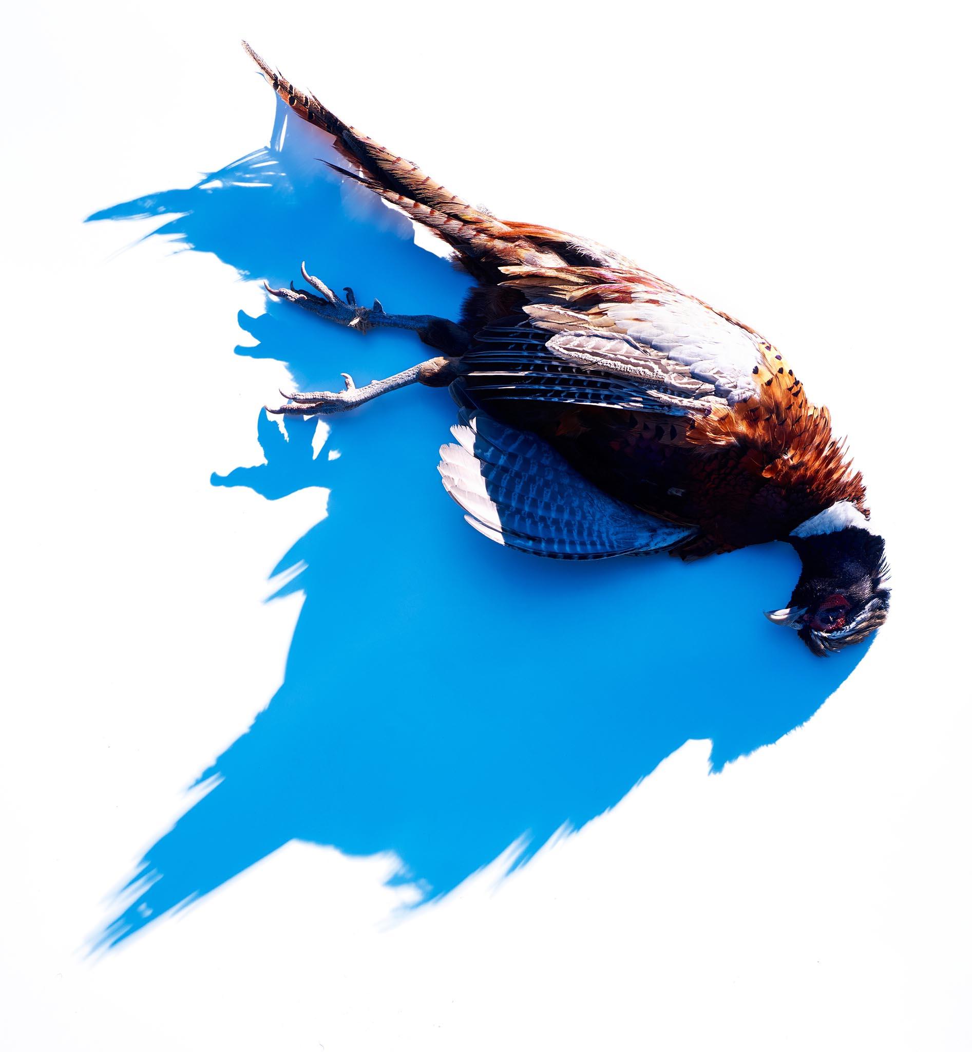 flemish-pheasant-maie-web.jpg