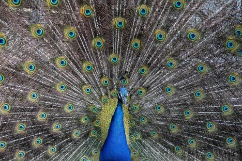 Spirit Animal: Peacock — SettingSun Wellness