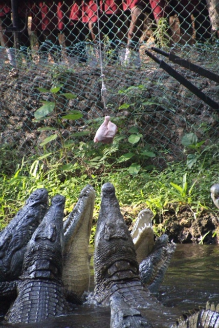 Crocodiles vie for a spot to try to capture the meat.