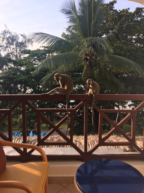 Monkeys enjoying their breakfast which they got from the dining hall!