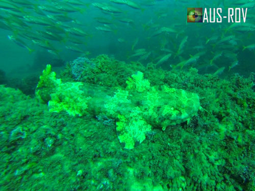 A Wobbegong Shark camouflages well at Mermaid Reef, Gold Coast.