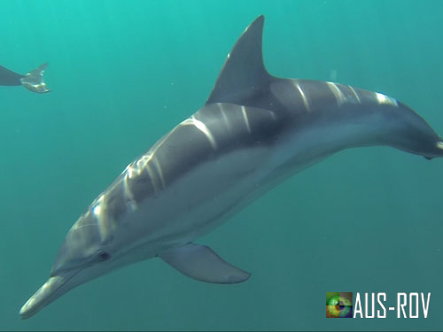 An inquisitive dolphin comes in to checkout the ROV in operation.