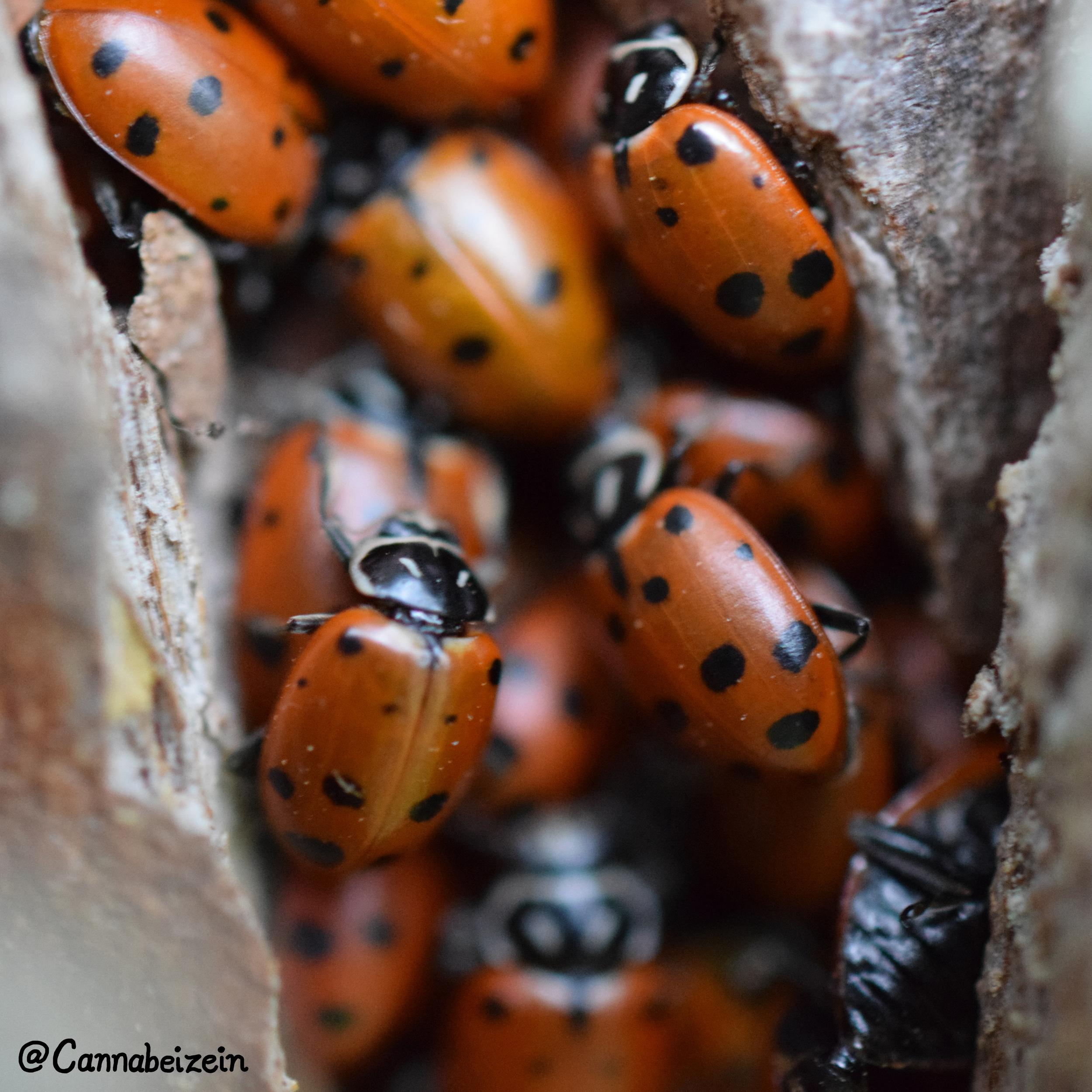 Lady Bugs Macro
