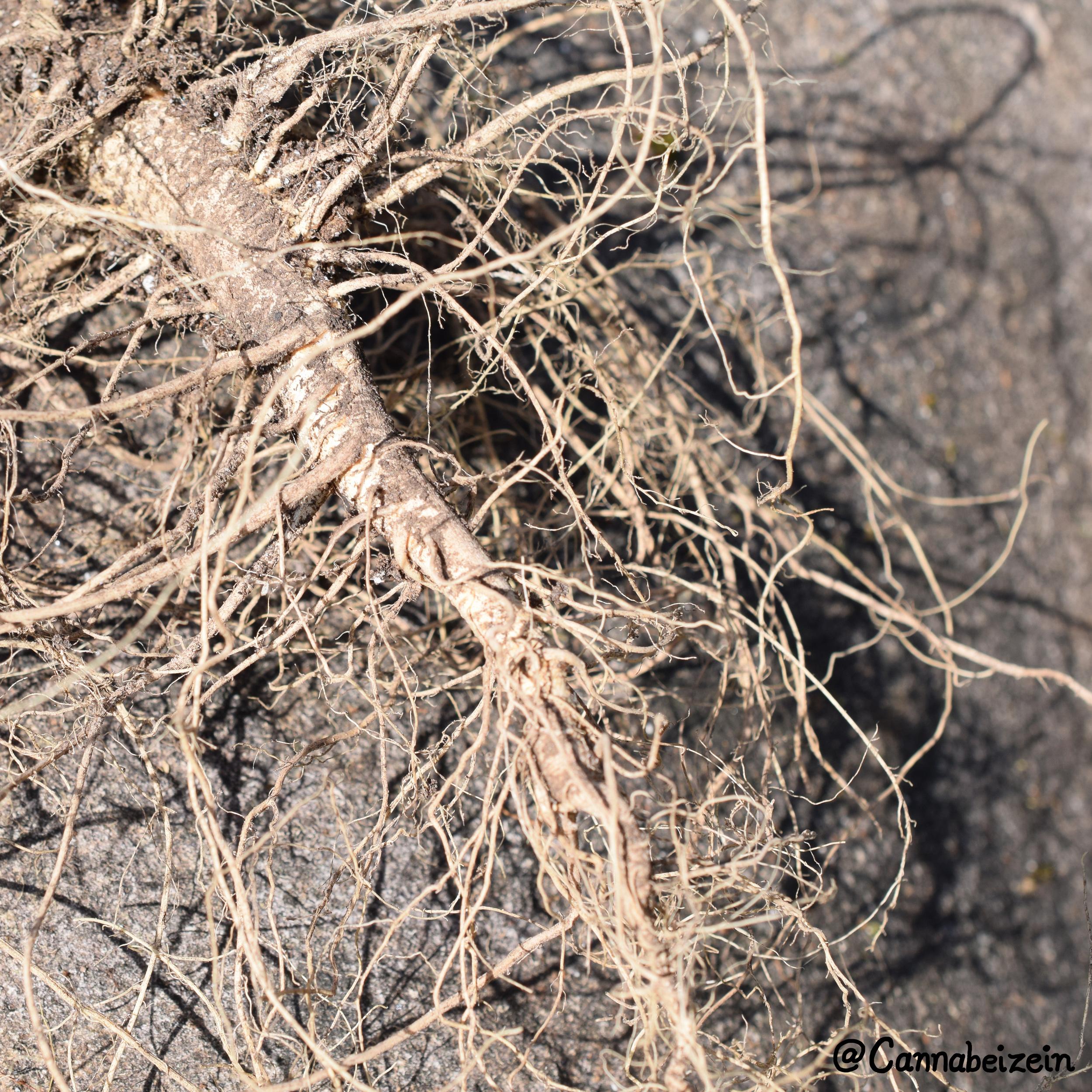 Cannabeizein 0179 - Chuy Roots - DSC_0106.jpg