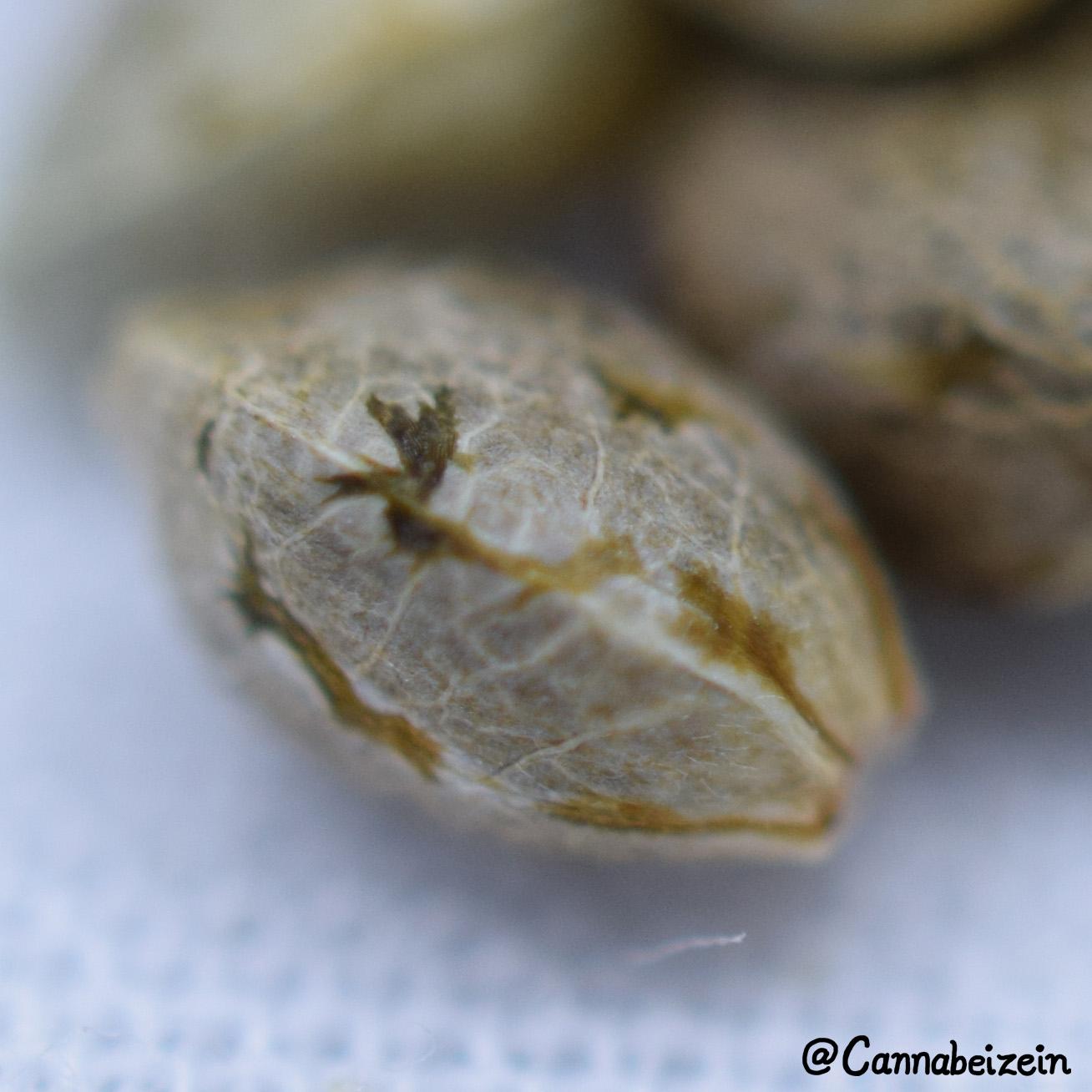 Cannabeizein 0235 - Mystery Mix Seeds - DSC_0831 copy.jpg