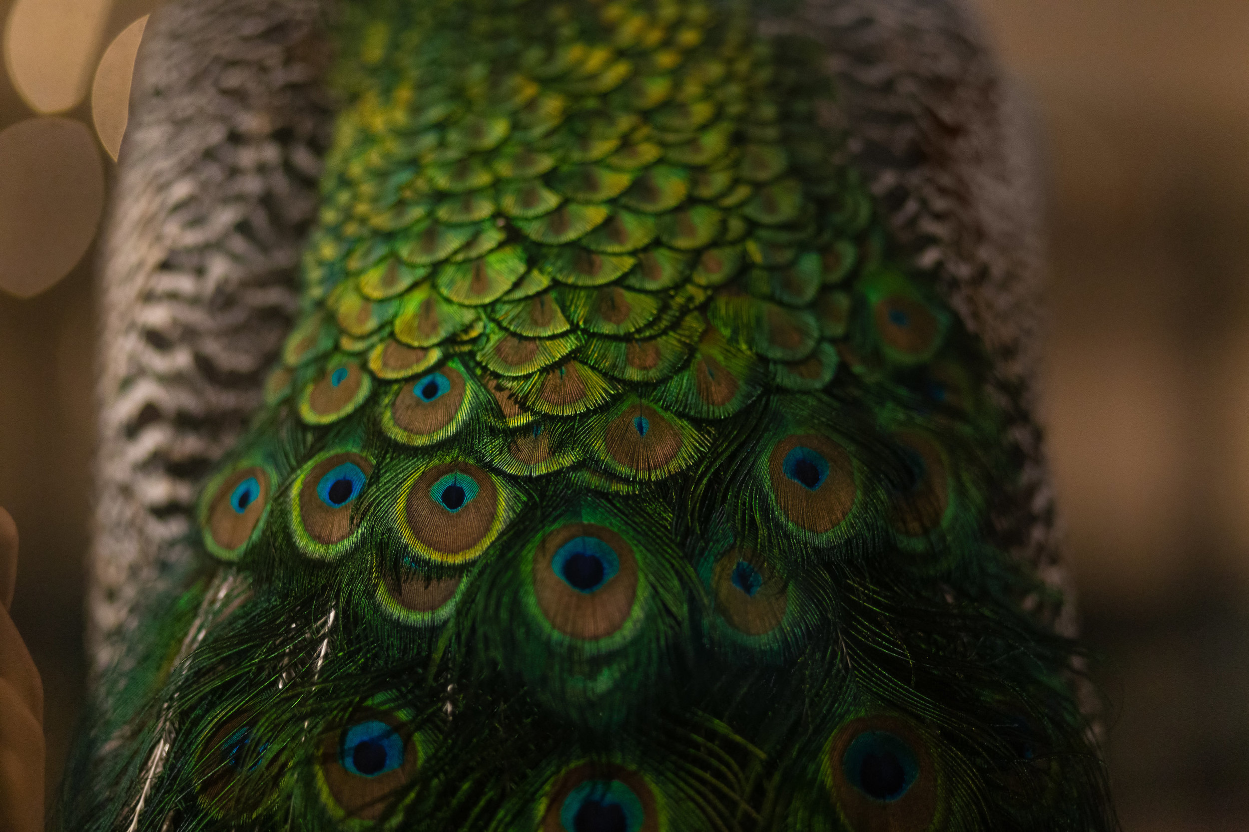 Details of the tail of a taxidermied peacock at the Naturkundmuseum, Berlin.