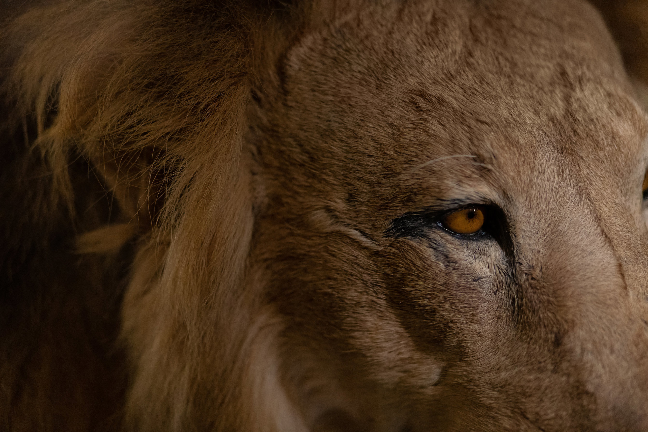 Close up of an African lion at the Naturkundemuseum, Berlin.