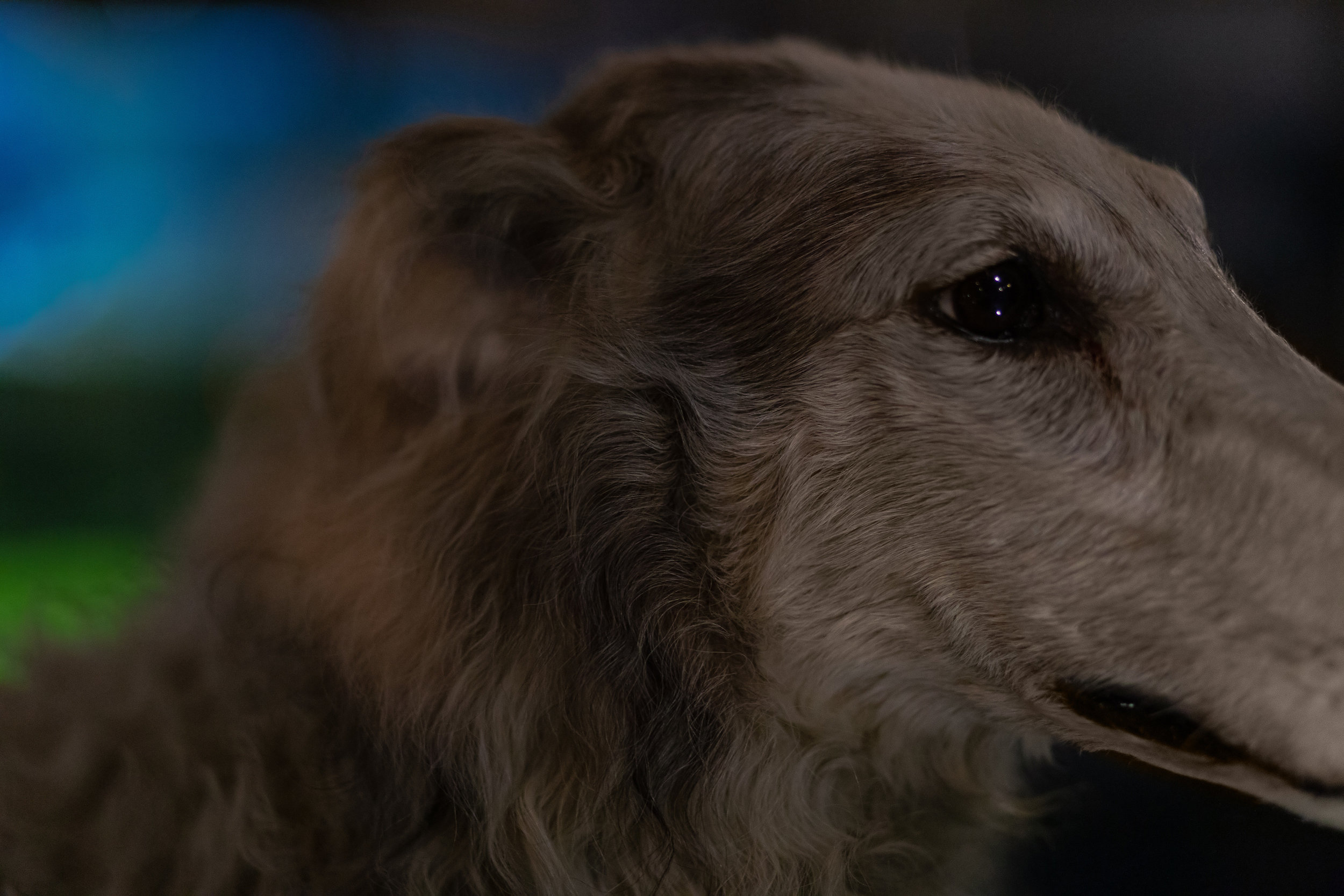 Close up of a common domestic dog at the Naturkundemuseum, Berlin.