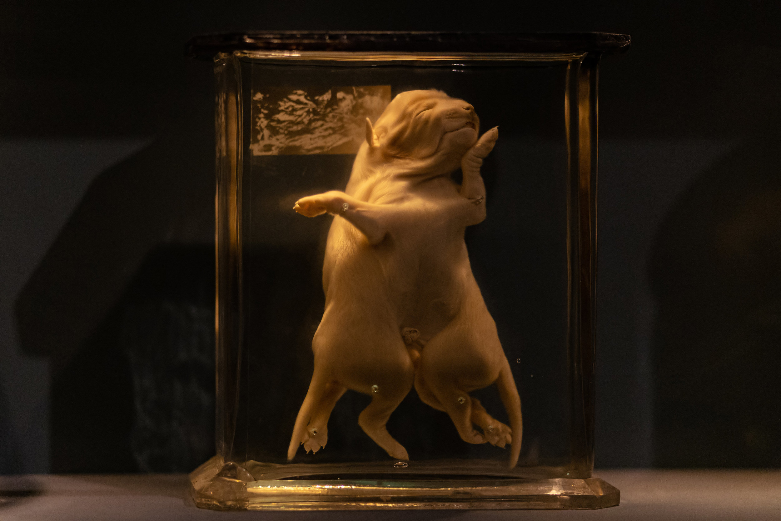 Display of a mutated specimen of dog at the Naturkundemuseum, Berlin.