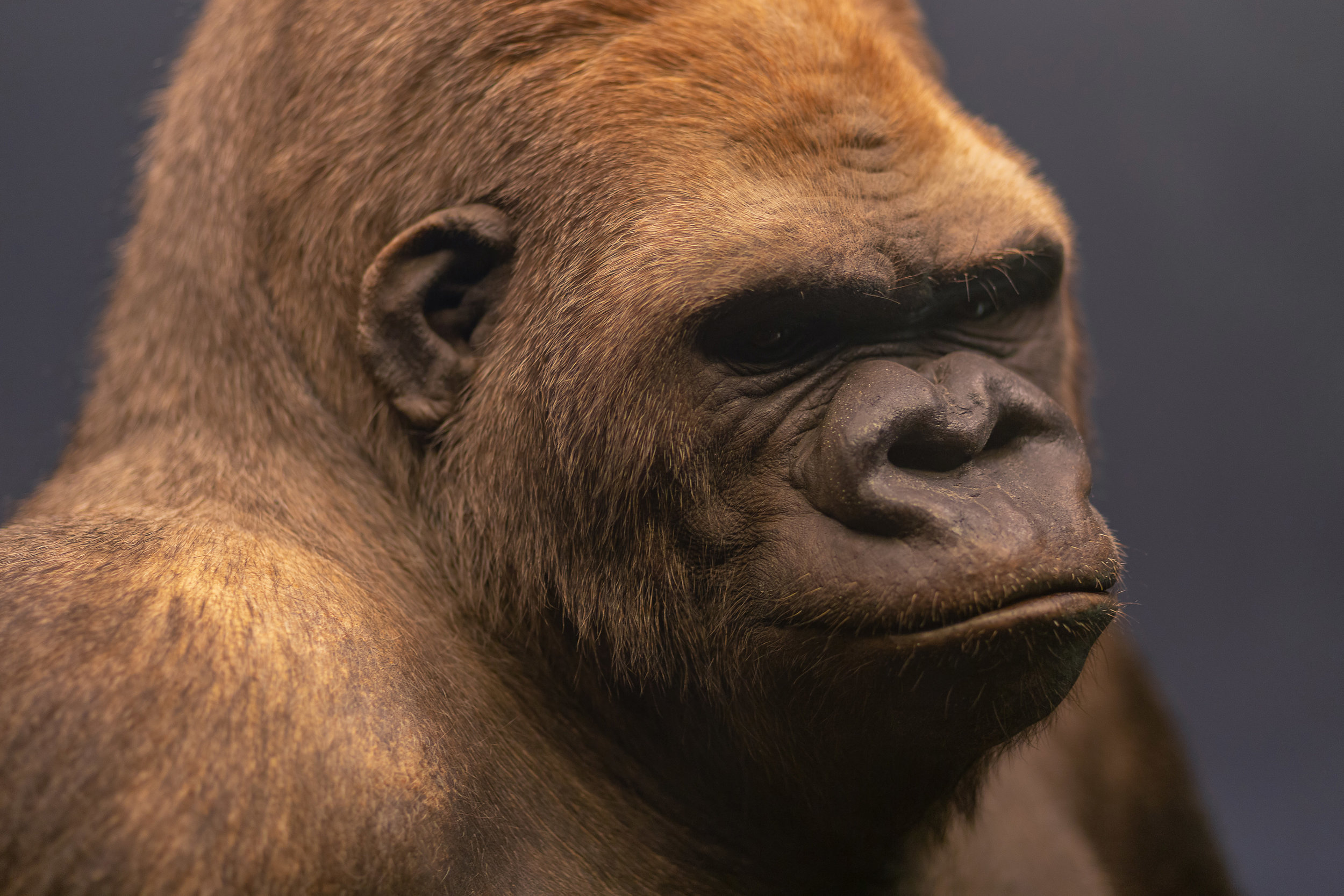 Portrait of Bobby, a famous gorilla who was a resident of the Berlin Zoo until 1935, displayed at the Naturkundemuseum, Berlin.